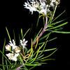 Pine-needle milkweed (Asclepias linaria), Santa Cruz County, Arizona