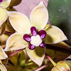 Asclepias cryptoceras, pallid milkweed, Greater San Rafael Swell, Emery County, Utah