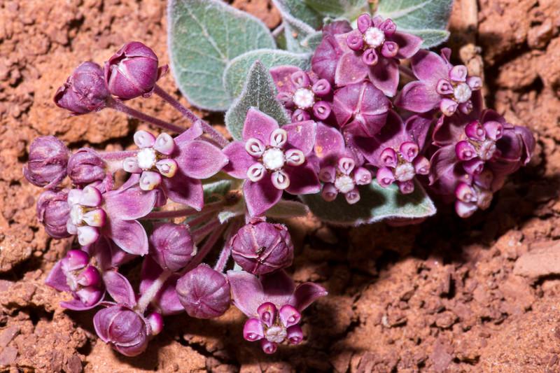 Asclepias ruthiae, Ruth's milkweed, Mussentuchit Badlands area, Emery County, Utah