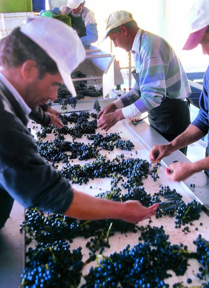 Selección de uva premium,  Mendoza, Argentina
