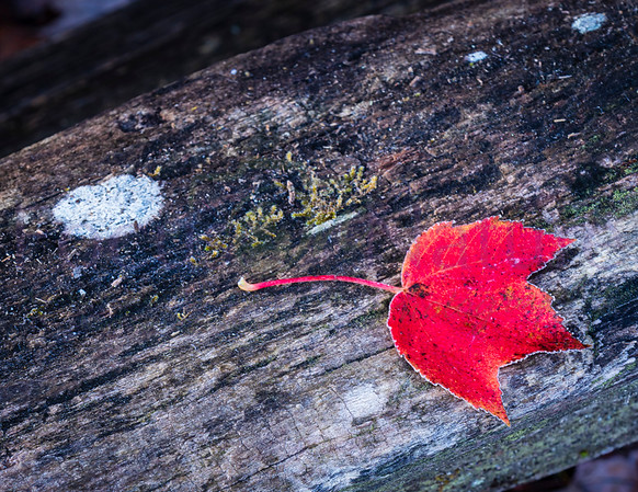 The Lone Red Leaf