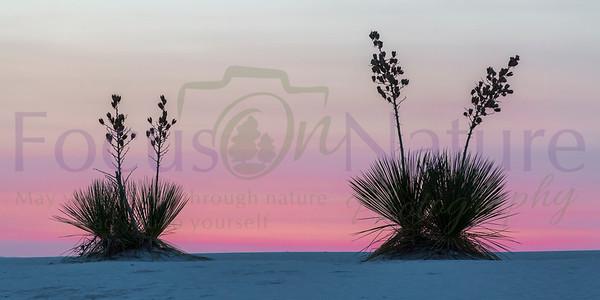 Pink Sunrise Light With Yucca