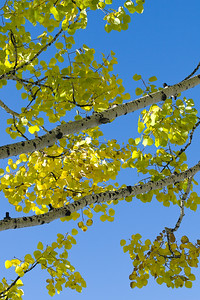 'Aspen Tree Branches' - Crested Butte, Colorado