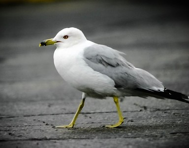 Ringed Bill Seagull