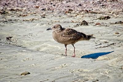 Herring gull - juvenile