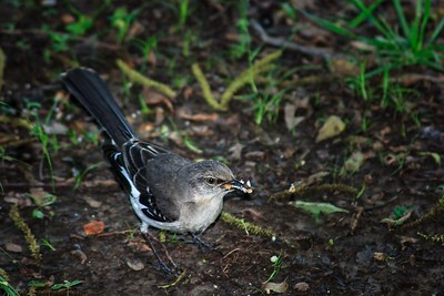Mississippi Mockingbird