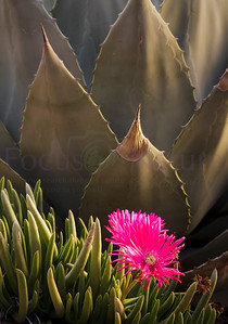 Agave And Ice