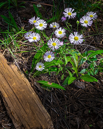 Fleabane and Texture