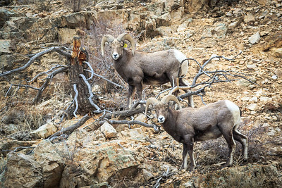 Bighorn Sheep just outside of Questa, NM