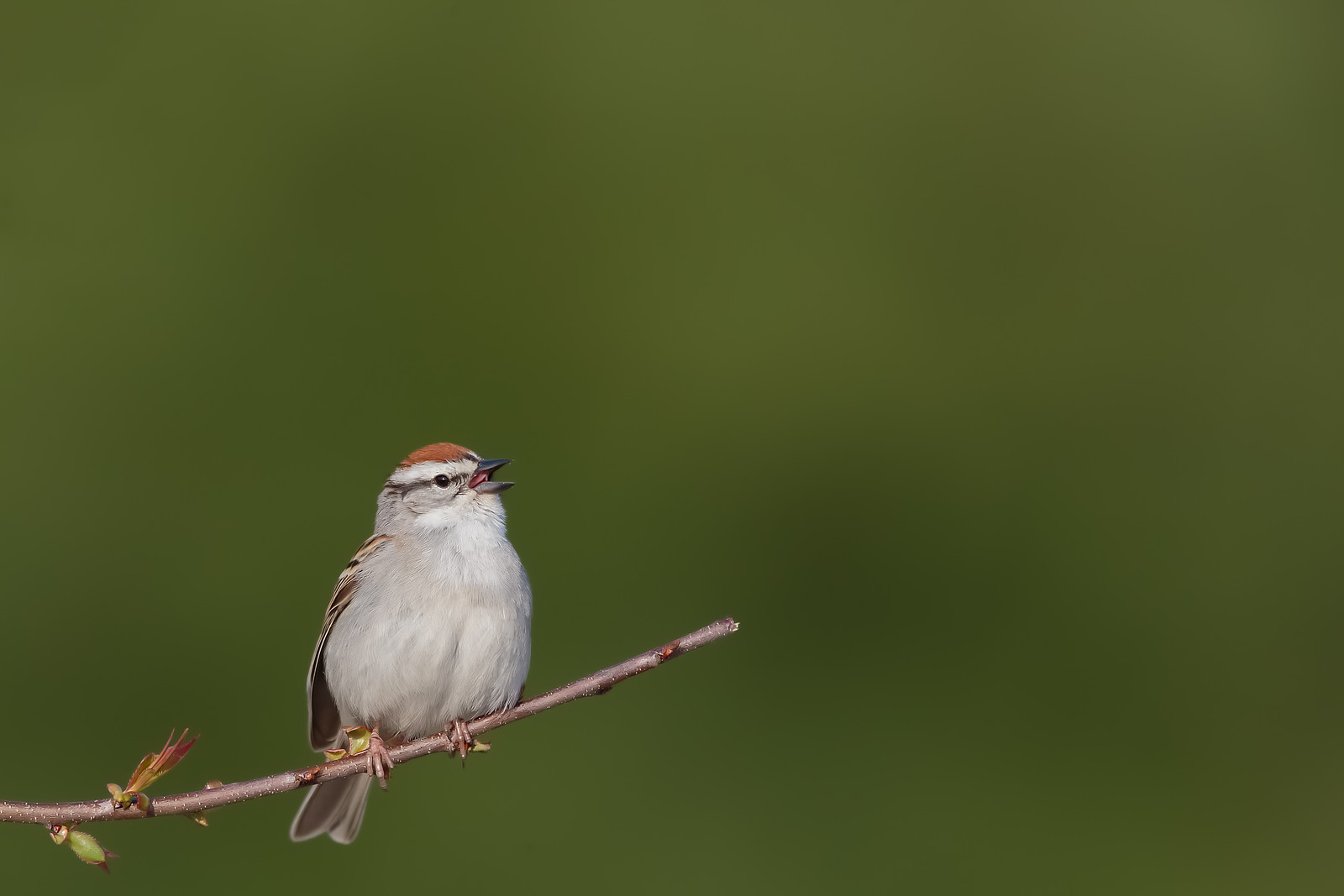 Chipping Sparrow - Grayling, MI, USA