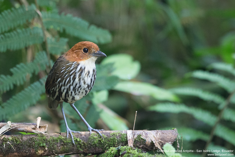 Chestnut-crowned Antpitta - San Isidro Lodge, Ecuador