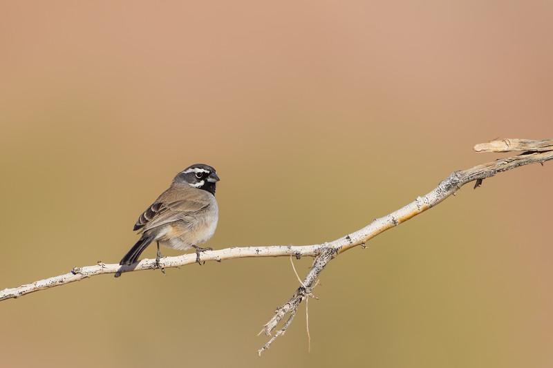 Black-throated Sparrow - USA