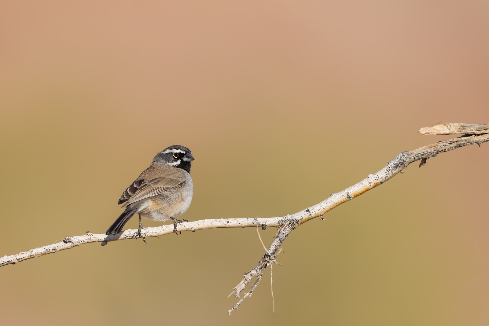 Black-throated Sparrow - Salton Sea, CA, USA