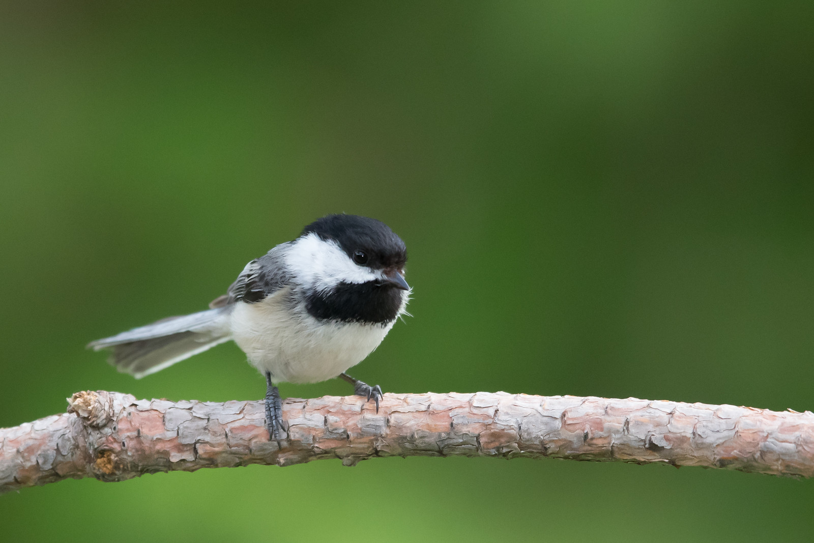 Black-capped Chickadee - Grayling, MI, USA