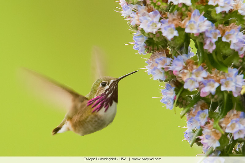 Calliope Hummingbird - USA