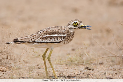Eurasian Thick-knee - Kutch, Gujrat, India