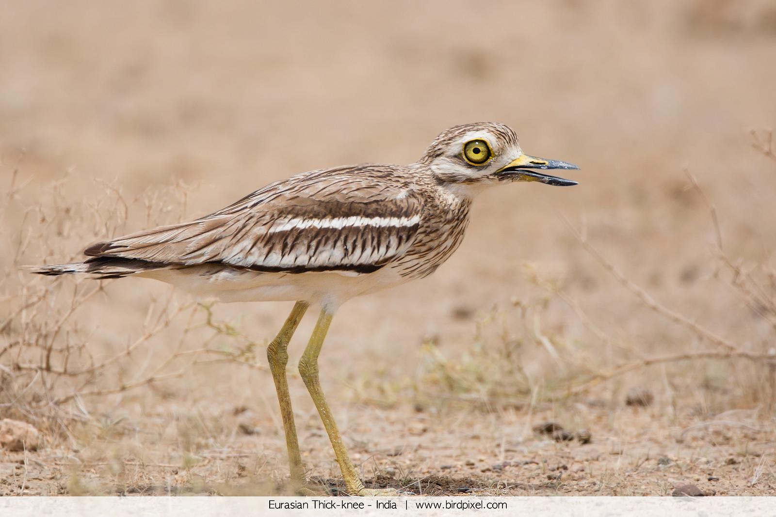 Eurasian Thick-knee - India