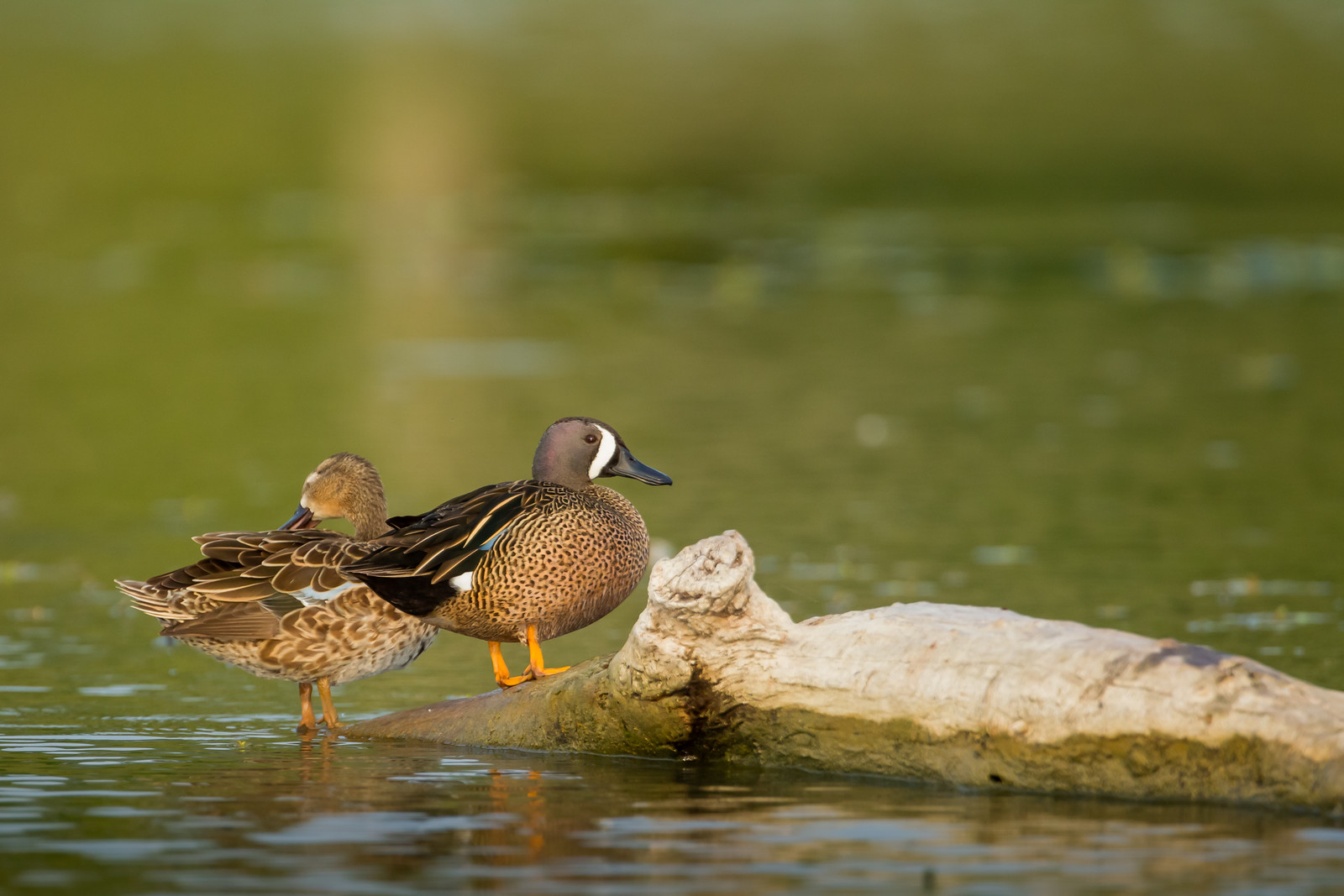 Blue-winged Teal - USA