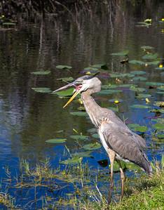 Yawning heron