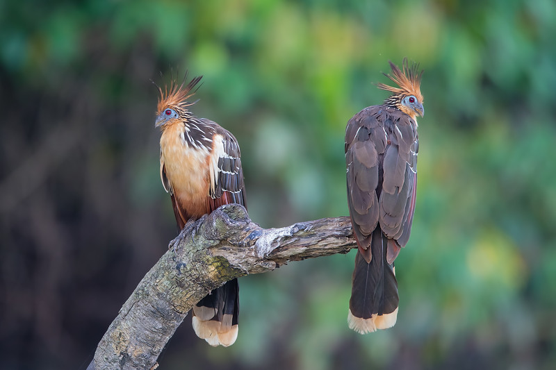 Hoatzin - Amazon, Peru