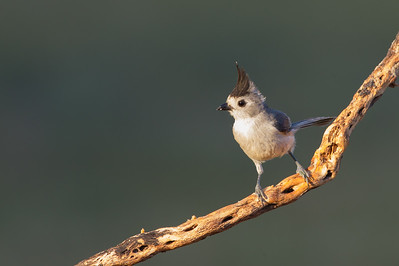 Black-crested Titmouse - Edinburg, TX, USA