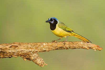 Green Jay - USA