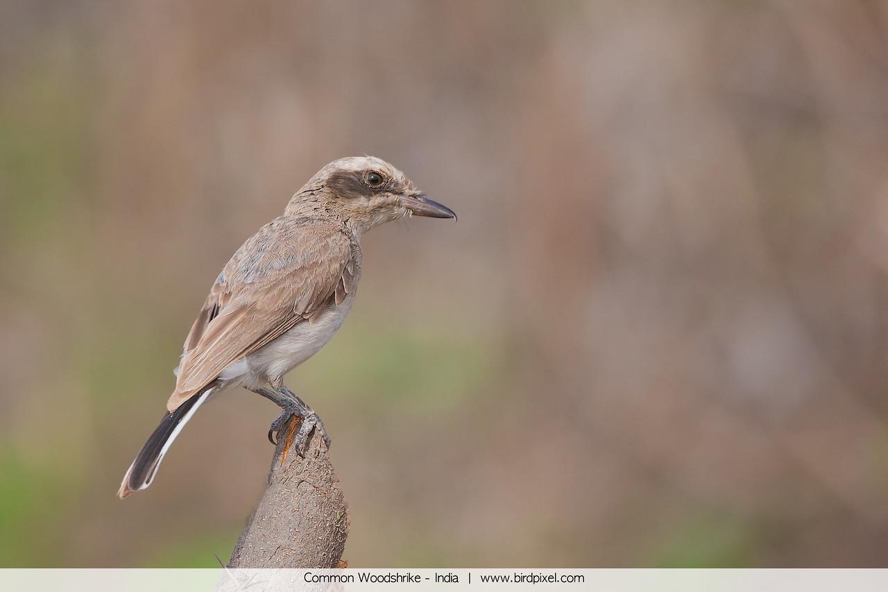 Common Woodshrike - India
