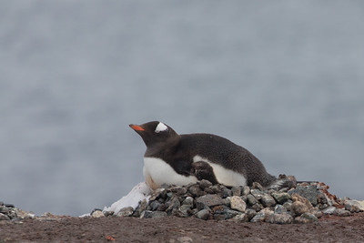Gentoo Penguin on nest - Antarctica