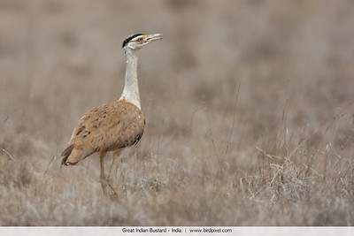 Great Indian Bustard - India