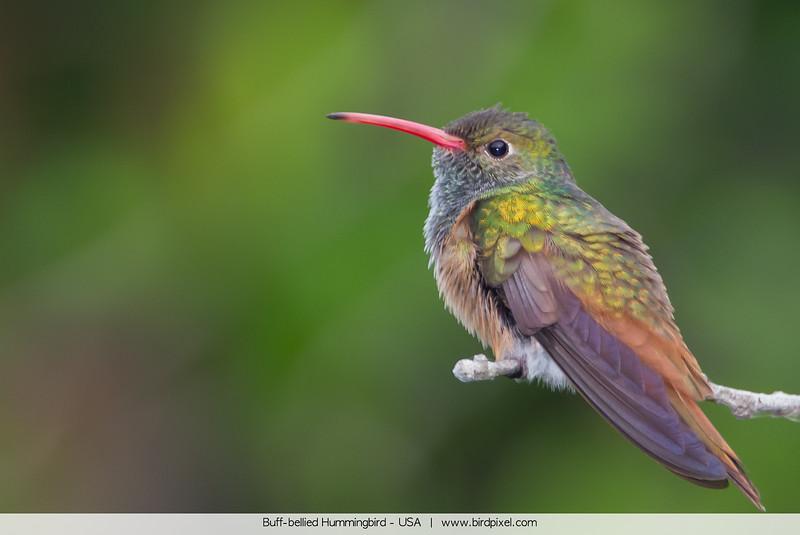 Buff-bellied Hummingbird - USA