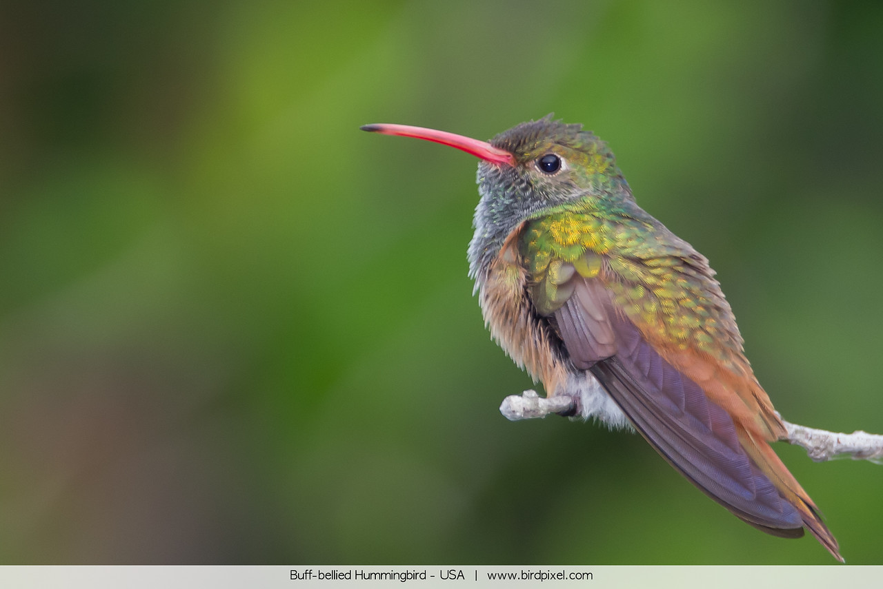 Buff-bellied Hummingbird - Weslaco, TX, USA