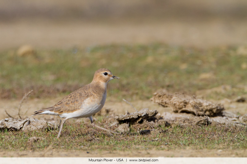 Mountain Plover - USA