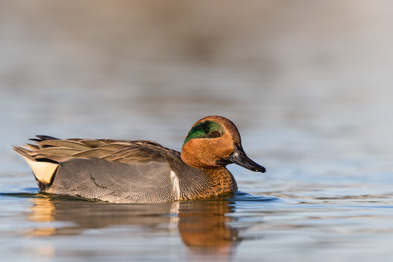 Green-winged Teal - Male - Radio Road, Redwood City, CA, USA