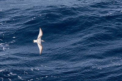 Antarctic Prion - Drake's Passage, Southern Ocean