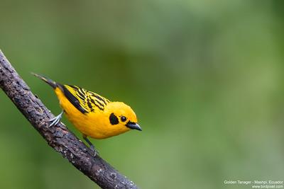 Golden Tanager - Mashpi, Ecuador