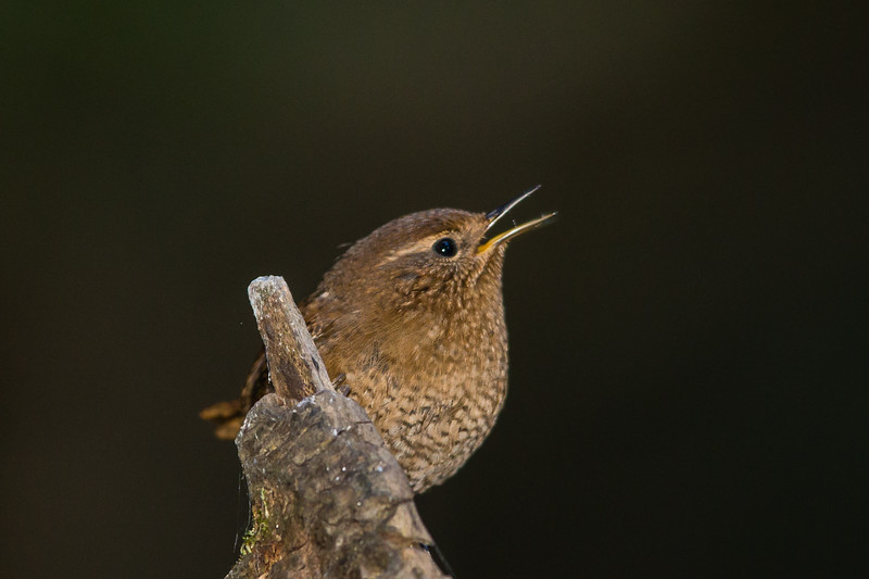 Pacific Wren - Los Gatos, CA, USA