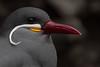 Inca Tern - Pucusana, Peru