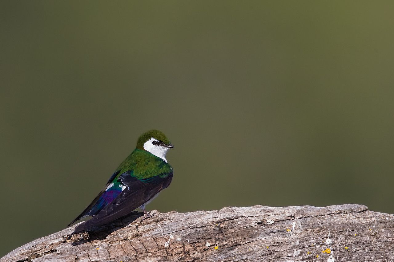 Violet-green Swallow - Los Altos, CA, USA