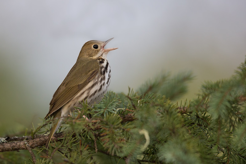 Ovenbird - Upper Peninsula, MI, USA