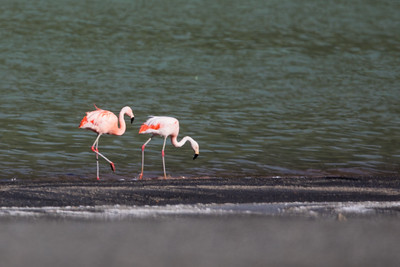 Chilean Flamingo - Chile