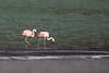 Chilean Flamingo - Chile