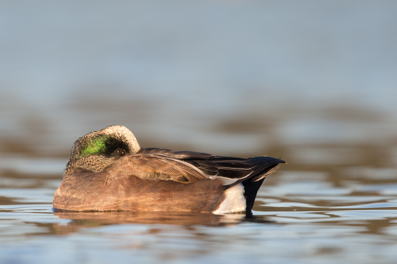 American Wigeon - Male - Radio Road, Redwood City, CA, USA