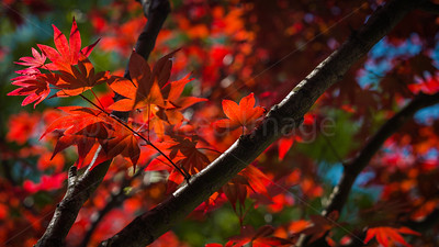 Red leaves in sun