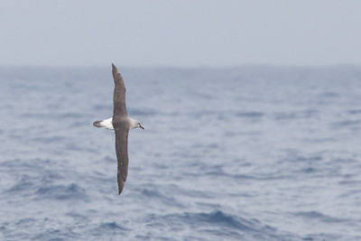 Gray-headed Albatross - Drake's Passage, Southern Ocean
