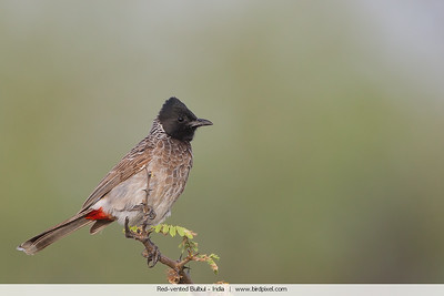Red-vented Bulbul - Kutch, Gujrat, India