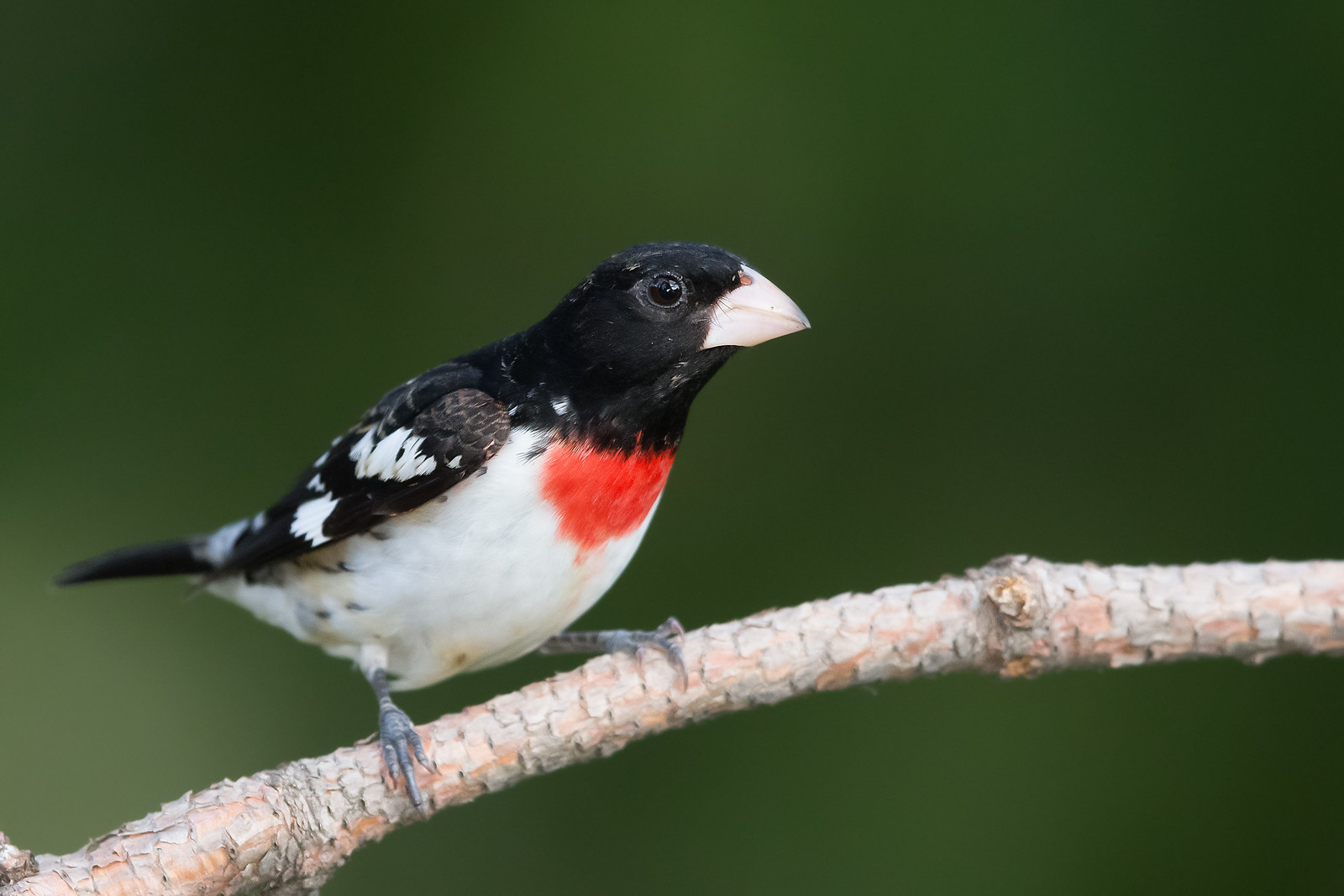 Rose-breasted Grosbeak - Male - Grayling, MI, USA