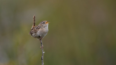 Sedge Wren - Chile