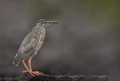 Striated (Lava) Heron - Punta Albemarle, Isla Isabela, Galapagos, Ecuador