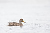 Yellow-billed Pintail - Tierra del Fuego NP, Argentina