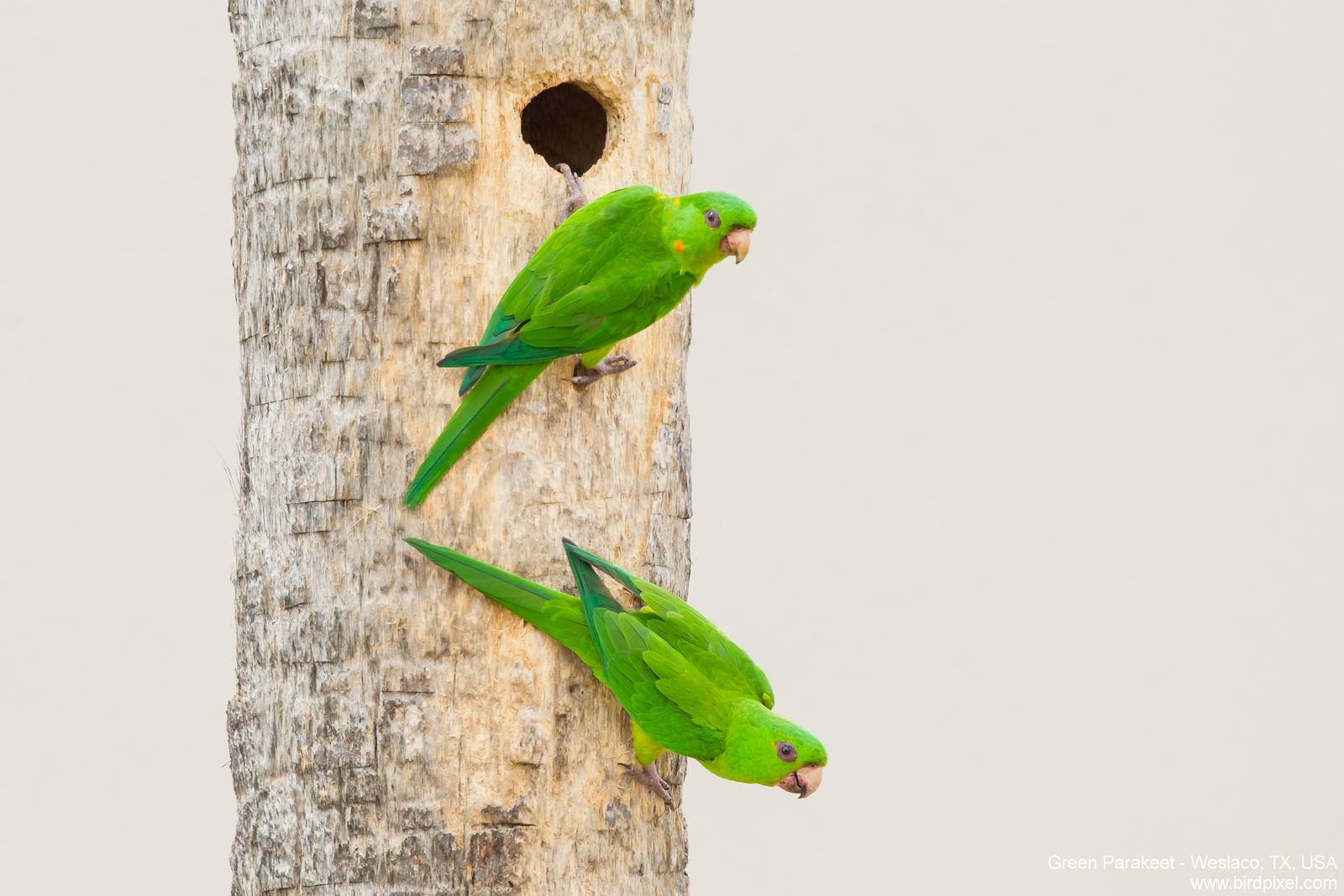 Green Parakeet - USA
